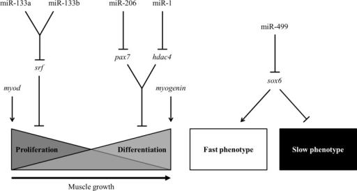 Model of MRF- and miRNA-mediated regulation of pacu skeletal muscle.Skeletal muscle growth of pacu is regulated by miR-1, miR-133a, miR-133b and miR-206, which likely modulate myoblast proliferation and differentiation by silencing of the hdac4, srf and pax7 mRNAs. The specification and maintenance of the twitch phenotypes are likely regulated by miR-499 through the silencing of the sox6 mRNA.