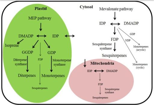"Terpene biosynthetic pathways and their subcellular compartmentalization in plants. Thick arrows denote the classical understanding of terpenoid synthesis compartmentalization among cytosol and plastid (Bohlmann et al., 1998b; Chen et al., 2011; Tholl and Lee, 2011), reflecting the circumstance that monoterpene and diterpene synthases harboring a chloroplast-targeting peptide are functionally active in plastids and sesquiterpene synthases lacking the target peptide are active in cytosol. However, recent findings of the capacity for multi-substrate use of several mono, sesqui-, and, diterpene synthases suggest that when substrate becomes available, several cytosolic ""sesquiterpene"" synthases could also operate as monoterpene synthases, and analogously, multi-substrate ""monoterpene"" and ""diterpene"" synthases could operate as sesquiterpene synthases in plastids (denoted by thin arrows). In addition, terpenoid synthesis can also potentially occur in mitochondria (Nagegowda, 2010; Tholl and Lee, 2011; Dong et al., 2016). For instance, targeting linalool/(E)-nerolidol synthase (FaNES1) from Fragaria ananassa (Table 1 for protein specifics) to the mitochondria led to the production of (E)-nerolidol and homoterpene 4,8-dimethyl nona-1,3,7-triene (DMNT) in transgenic Arabidopsis thaliana plants (Kappers et al., 2005). DMADP, dimethylallyl diphosphate (C5); MEP pathway, 2-C-methyl-D-erythritol 4-phosphate/1-deoxy-D-xylulose 5-phosphate pathway; IDP, isopentenyl diphosphate (C5); FDP, farnesyl diphosphate (C15); GDP, geranyl diphosphate (C10); GGDP, geranylgeranyl diphosphate (C20); NDP, neryl diphosphate (C10)."