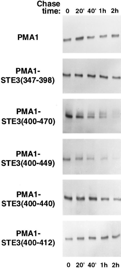 Stability of different PMA1-STE3 fusion proteins.  Turnover analysis performed on cells of the MATα strain SY1574  transformed either by a CEN/ARS plasmid carrying an HA  epitope-tagged version of Pma1p under the control of the GAL1  promoter (pND542) is shown in the top panel. The five panels  below show the same analysis applied to cells transformed by five  versions of the pND542 plasmid, having the two COOH-terminal  Pma1p codons replaced by the indicated Ste3p sequence interval.  For this analysis, galactose (2%) was added for 1 h, followed by  the addition of glucose to 3%, and at the indicated times thereafter, culture aliquots were removed and protein extracts prepared.  Extracts were subjected to SDS-PAGE, followed by immunoblot  analysis using anti-HA mAb.