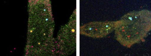Cyclin D1 (red, left) but not GAPDH (red, right) is found in nuclear bodies with eIF4E (green).