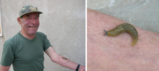 Vito Sabato (74 yrs. old) uses mucous produced by the garden slug (Arion hortensis) to treat warts, inflammations, and calluses on the skin.