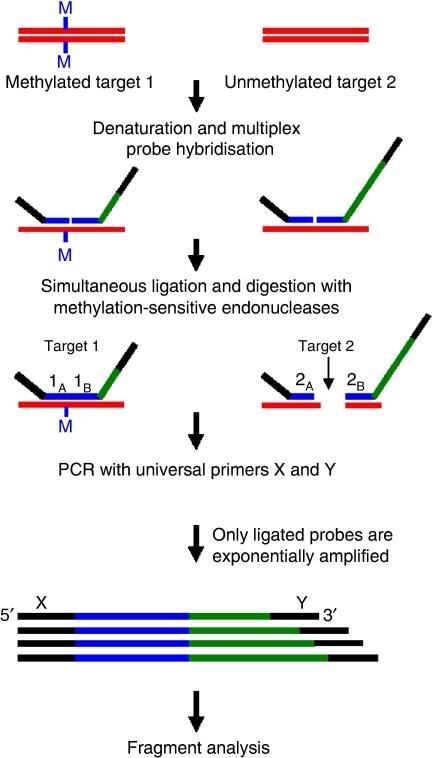 Overview of the MS-MLPA procedure (Nygren et al, 2005). The gene ...