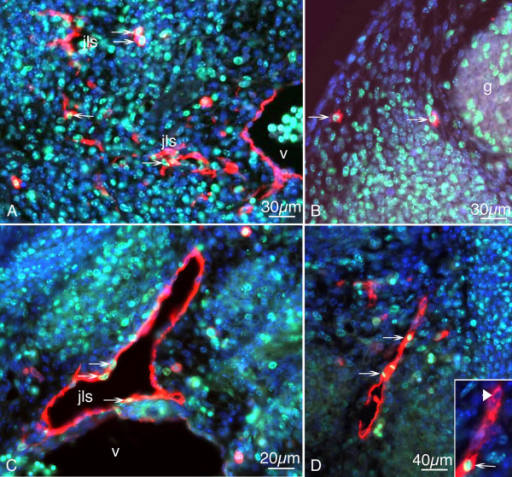 Paraffin sections of mouse embryos stained with antibodies against Ki-67 (green) and Lyve-1 (red). Counter staining was performed with DAPI (blue). A) On ED 11.5, there are proliferating LECs in the developing jugular lymph sacs (jls) (arrows), but no double positive cells in the cardinal vein (v). B) Two mesenchymal cells positive for the markers located in the dermatome (arrows). g, spinal ganglion. C) JLS of ED 12.5 mice with LECs (arrows) expressing Ki-67 and Lyve-1. D) Sprout from the JLS containing proliferating cells (arrows). Inset: Higher magnification showing Ki-67-positive (arrow) and negative (arrowhead) LECs.