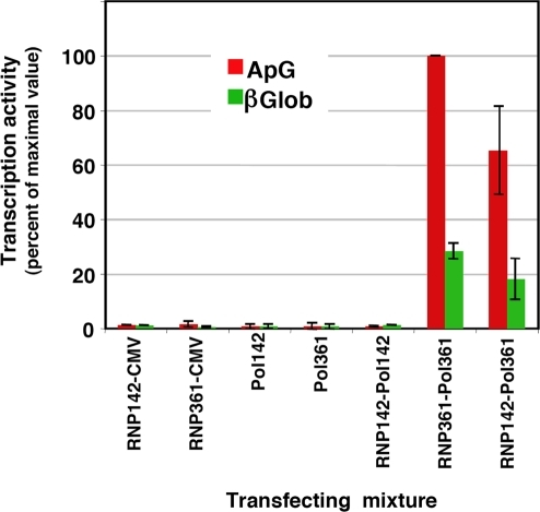 Phenotype of trans-complemented RNPs.The purified RNP preparations presented in Fig. 3 were tested for in vitro transcription primed with either ApG (red) or β-globin mRNA (green). The data are presented as percent of maximal value and represent the averages and range of two independent complementation experiments. The transfecting RNPs are denoted as RNP142 or RNP361. The genotypes of the transfected polymerases are indicated as Pol142 or Pol361. CMV indicates the transfection of empty pCMV plasmid. The transcription activities parallel the values of NP accumulation presented in Fig. 3 and show that the rescued RNPs have a cap-snatching defective phenotype.