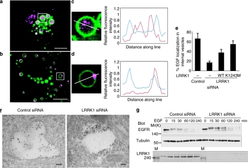Effects of LRRK1 depletion on localization of EGFR in MVBs and EGFR degradation.(a, b) Effect of LRRK1 depletion on EGFR sorting into the lumen of Rab5(Q79L)-induced enlarged endosomes. HeLa S3 cells treated with control (a) or LRRK1 siRNA (Stealth#1) (b) were transfected with DsRed-Rab5(Q79L) and stimulated with 100 ng per ml of Alexa 647-EGF for 30 min. The cells were fixed and imaged by confocal microscopy. Images are three-dimensional reconstructions from a series of confocal Z-stack images (0.3 μm-thick sections). Scale bar, 10 μm. (c, d) Confocal images from control (c; the boxed region in a) or LRRK1-depleted cells (d; the boxed region in b) show individual enlarged endosomes. Areas of co-localization are shown by line intensity profiles. (e) Quantification of Alexa 647-EGF localization into the lumen of Rab5(Q79L)-induced enlarged endosomes. Cells treated with control or LRRK1 siRNA (Stealth#1) were co-transfected with DsRed-Rab5(Q79L) and siRNA-resistant GFP-LRRK1 (wild type and the K1243 M mutant), as indicated. Cells were stimulated with 100 ng per ml of Alexa 647-EGF for 30 min and then fixed. Data are presented as percentages of Alexa 647-EGF localization into the lumen of enlarged endosomes out of the total number of Rab5(Q79L)-induced enlarged endosomes (diameter; >1 μm). Values reflect the mean s.d. of three independent experiments, with an average of 15 cells (total 100 endosomes) scored per experiment. (f) HeLa S3 cells were treated with control or LRRK1 siRNA (Stealth#1). After 16 h of serum starvation, cells were incubated with anti-EGFR antibodies (LA-22) for 2 h at 37°C, followed by goat anti-mouse IgM antibodies conjugated to 10 nm gold for 1 h at 37°C. After washing to remove antibodies from the medium, the cells were stimulated with EGF for 10 min and then fixed. The localization of EGFR was examined by silver-enhanced immunogold electron microscopy. Scale bar, 100 nm. (g) HeLa S3 cells treated with control or LRRK1 siRNA (Stealth#1) were transfected with EGFR. After 16 h of serum starvation, cells were stimulated with 100 ng per ml of EGF. Cell lysates were immunoblotted with indicated antibodies. Tubulin serves as a loading control.