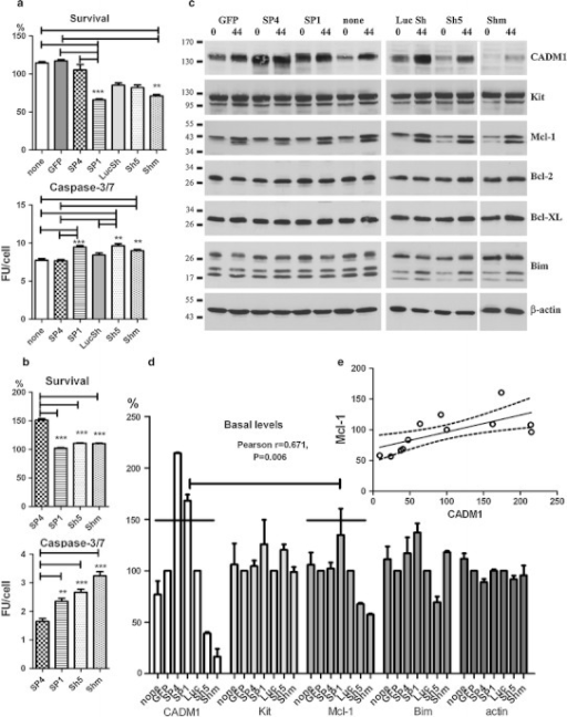 Modulation of CADM1 affects cell viability in HMC-1 cells. Transduced cells were washed and then incubated in IMDM alone for 48 h. The percentage of viable cells and caspase 3/7 activity (a) were measured in two experiments each performed in quadruplicate. Survival is shown as a percentage of cells surviving from the beginning of the experiment. **P < 0.01, ***P < 0.001. b Transduced HMC-1 cells were washed and incubated in IMDM with 1 μM A23187 for 24 h. Survival and caspase-3/7 activity were measured as in (a). Two experiments each performed in quadruplicate. **P < 0.01, ***P < 0.001 versus SP4. c Western blot of transduced cells at 0 and 44 h following removal of viruses in IMDM alone (representative of two to four experiments for different groups 30 μg/lane). Abs are shown on the right. d Protein bands, shown in (c) at a baseline (0 h) were quantified (n = 2). Bands in non-transduced, SP4 and SP1 groups, and non-transduced cells were expressed as percentages of GFP group; bands in Sh5 and Shm groups were expressed as percentages of LucSh group. Data for Bcl-2 and Bcl-XL are not shown. The data with 14 points for each protein (two experiments with seven groups each) were analysed for correlation. Regression analysis of these data is shown (e)