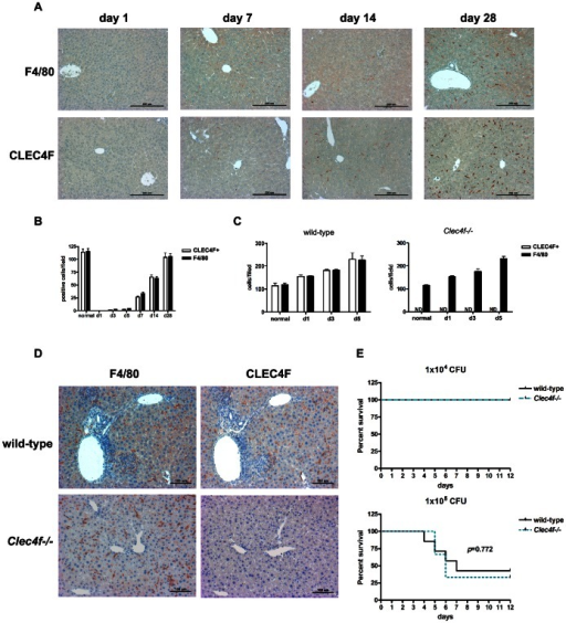 CLEC4F+ cells were appeared in the liver environment under Kupffer cell depletion and inflammatory stage.(A) Kupffer cells were depleted by Cl2MBP-encapsulated liposome by intravenous injection (100 µl/mouse) at day 0 and livers were harvest at day 1, 7, 14 and 28. F4/80 and CLEC4F immunohistochemistry of liver sections were performed. (B) The numbers of F4/80+ or CLEC4F+ cells in livers were shown. For generating inflammatory stage, wild-type and Clec4f−/− littermates were infected with L. monocytogenes (1×105 CFU/mouse) intravenously. (C) The numbers of F4/80+ or CLEC4F+ cells in livers during L. monocytogenes infection. (D) Immunohistochemistry of L. monocytogenes infected livers of wild-type and Clec4f−/− mice at day 5 after infection. (E) Kaplan-Meier survival curves were shown for Clec4f−/− or wild-type littermates with L. monocytogenes infection. The p value was determined by Log-rank test.
