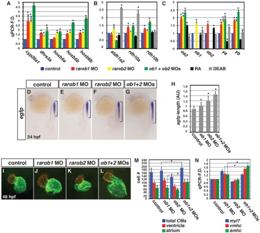 Concurrent depletion of RARαb1 and RARαb2 promotes increased RA signaling and atrial CM number.qPCR for (A) RA signaling responsive gene, (B) RA metabolizing gene, and (C) zebrafish rar expression in control sibling, RARαb1 deficient, RARαb2 deficient, RARαb1+RARαb2 (suboptimal doses) deficient, RA treated, and DEAB treated embryos at the 8 s stage. (D–G) ISH for egfp expression in Tg(12XRARE-ef1a:EGFP)sk72 embryos. Brackets indicate the length of egfp expression in the spinal cord. (H) Measurements of the length in arbitrary units (AU) of egfp expression in the spinal cord of Tg(12XRARE-ef1a:EGFP)sk72 embryos. (I–L) Hearts from control and RARαb depleted Tg(-5.1myl7:DsRed-NLS)f2 embryos. Images are frontal views. Red indicates ventricle. Green indicates atrium. (M) Mean CM number from Tg(-5.1myl7:DsRed-NLS)f2 hearts at 48 hpf. (N) qPCR for CM marker gene expression at 48 hpf. While modest increases in vmhc expression in RARαb1+RARαb2 deficient embryos were observed relative to RARαb1 (suboptimal dose) deficient embryos, corresponding increases in ventricular CM number were not observed.