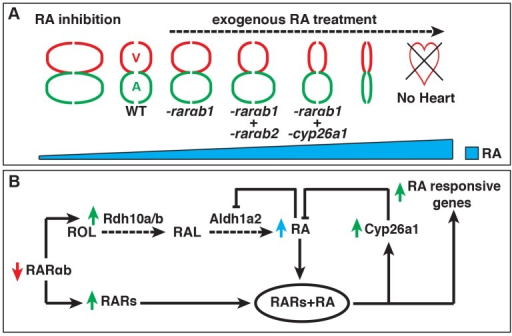 Models of the effects of RA signaling on heart patterning and the RA feedback mechanism.(A) Model depicting the consequences on atrial and ventricular CM specification at different levels of RA signaling. (B) Model of the previously unrecognized feedback mechanism that triggers increased RA signaling when depleting RARs. ROL = retinol. RAL = retinal. Red and green arrows indicate the effects on gene expression. Blue arrow indicates the effect on RA levels.