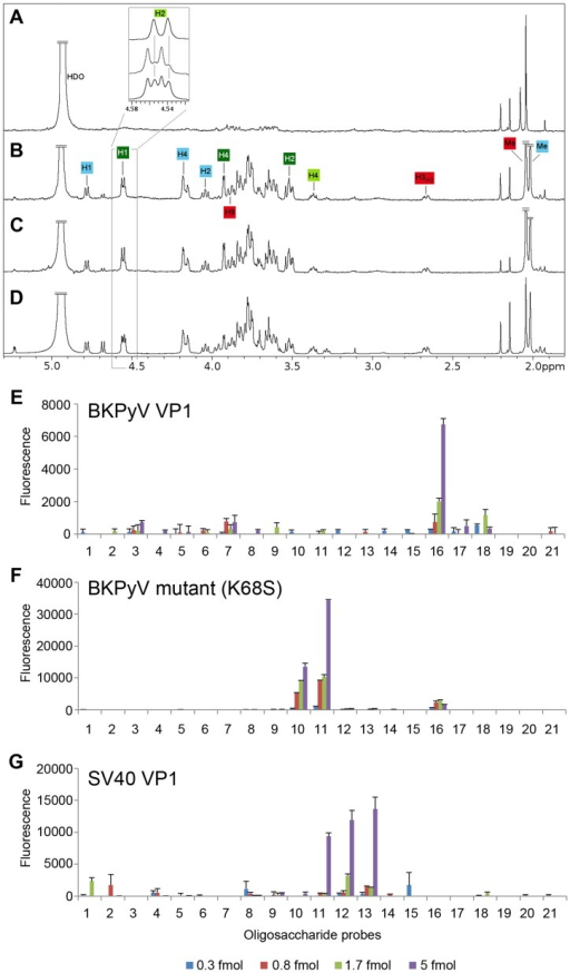 The K68S mutation targets BKPyV to the SV40 receptor GM1.STD difference spectra of (A) BKPyV K68S with GD3, (B and C, respectively) BKPyV K68S and SV40 with GM1. (D) SV40-GM1 off-resonance spectrum. A 50-fold excess of oligosaccharide was used for each spectrum. The off-resonance spectrum was scaled to 3%. Resonances labeled in the difference spectra with GM1 (B and C) receive considerable saturation transfer from BKPyV K68S and SV40. Regions with strong signal overlap are not labeled because they cannot be unambiguously assigned. Binding of BKPyV K68S to GD3, previously seen for WT BKPyV (Fig. 1C), is abolished by the mutation (A). Carbohydrate microarray analyses of recombinant VP1 of (E) BKPyV, (F) BKPyV K68S and (G) SV40 using 21 ganglioside-related saccharide probes, which included the b-series gangliosides as well as GM1 variants NeuNAc-GM1 and NeuNGc-GM1. The doses of probes arrayed per spot are indicated. Numerical scores of the binding signals are means of duplicate spots (with error bars). The complete list of probes and their sequences are in Supplemental Table S1.