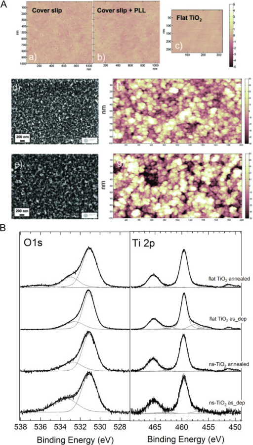 AFM images and photoemission spectra. (A) AFM images of reference and nanostructured samples. Reference samples: a) coverslip (1 x 1 μm2), rms roughness is 0.343 ± 0.004 nm; b) Poly-L-Lysine coated coverslip (1 x 1 μm2), rms roughness 0.271 ± 0.020 nm; c) flat TiO2 (2 x 1 μm2), rms roughness of 0.229 ± 0.004 nm. The vertical color scales range between 0 and 10 nm. Nanostructured samples: d) and e) high resolution SEM images and f) and g) AFM topographies (2 x 1 μm2) of 50 nm and 200 nm thick nanostructured TiO2, respectively. The roughness of the thinner film has been evaluated 20.2 ± 0.5 nm, whereas of the thicker film 29.1 ± 1 nm. The ns-TiO2 films clearly appear to have a fine raster of nanometer-sized grains with porosity at the subnanometer scale and with the thicker film showing larger height fluctuations. (B). O1s and Ti 2p photoemission spectra before and after thermal annealing of flat and ns-TiO2 films. Ti 2p1/2 and Ti 2p3/2 peaks fall at 465.3 eV and 459.6 eV respectively (Ti(IV) bound to oxygen) and O 1 s peak shows two components one at 531.1 eV (oxygen bound to Ti(IV)) and the other at 533.5 eV (oxygen bound to contaminants).