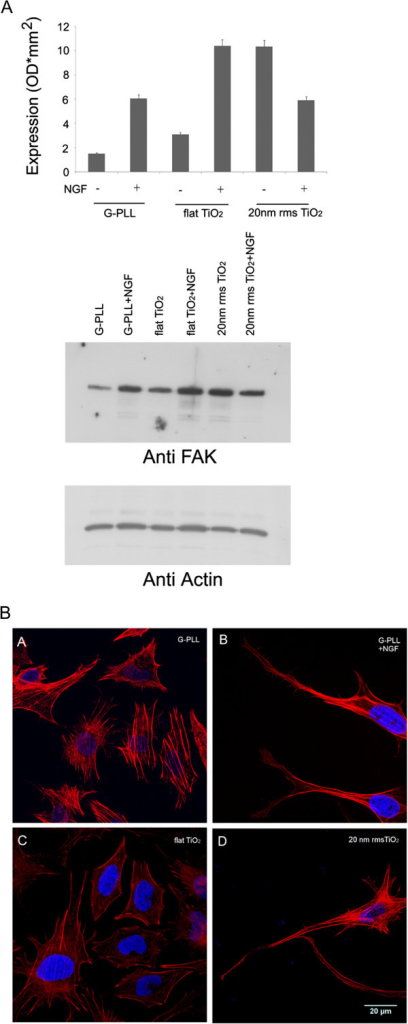 Effect of nanotopography on FAK expression and actin cytoskeleton rearrangement. (A) FAK expression was evaluated by Western blot using anti-FAK antibodies in PC12 cells grown on PLL-coated glass (G-PLL), flat Titania (flat TiO2) and nanostructured Titania (20 nm rms ns-TiO2) in the presence and in the absence of 50 ng/mL NGF. The results are means of 2 different experiments. (B): Stress fiber organization after 48 h of culture in low serum media on different substrates and conditions: G-PLL (A), G-PLL + NGF (B), flat TiO2 (C) and 20 nm rms ns-TiO2 (D). Actin (red) and nucleus (blue) fluorescent staining.
