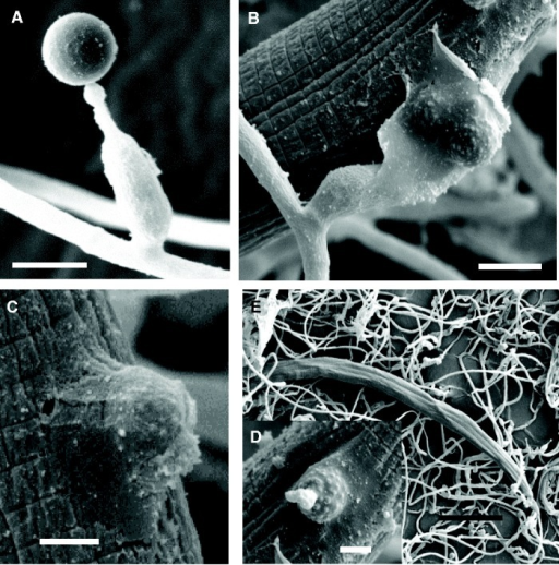 Conidia and the infection stages of Hirsutella minnesotensis on SCN. (A) Conidium of H. minnesotensis. (B, C) A conidium adhered to the cuticle of a passby nematode by secretion of adhesive substances. (D) The cuticle of nematode was degraded and penetrated by an adhesive conidium. (E) The fungus grew in the body of the nematode. Bars: 5.0 μm for (A) and (B), 2.5 μm for (C) and (D), and 50.0 μm for (E).