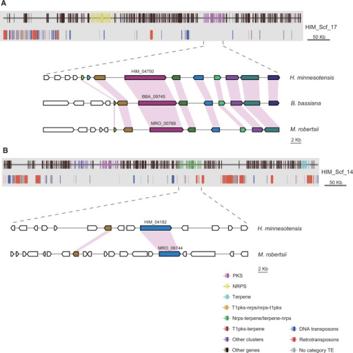 Genomic landscape of selected scaffolds containing secondary metabolite gene clusters in Hirsutella minnesotensis. (A) Gene clusters located in TE-poor regions are syntenic between H. minnesotensis and other insect fungi. (B) Gene clusters located in TE-rich regions are expanded and diverse without synteny.