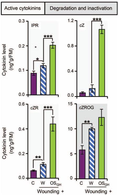 Wounding and herbivory induce changes in cytokinin levels in leaves of Arabidopsis thalianaIsopentenyladenosine (IPR), cis-zeatin (cZ), cis-zeatin riboside (cZR), and cis-zeatin riboside O-glucoside (cZROG) levels in leaves 30 min after wounding and application of water (W) or grasshopper oral secretions (OSGH) to the puncture wounds, as well as in untreated control leaves (C). Asterisks indicate significant differences between W and OSGH application to wounding sites or between wounding and W application compared to C, as indicated (independent samples t-test: *P≤0.05, **P≤0.01, ***P≤0.001). Error bars are standard errors (n≥4). FM, fresh mass.
