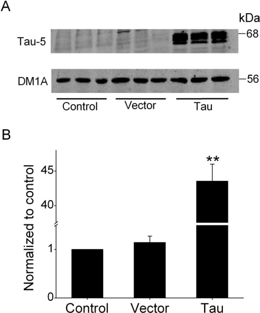 Analysis for tau overexpression after transfection.(A) Western blotting analysis showed that the expression of tau was robust after transfection compared to the control or vector group in N2A cells. The level of total tau was normalized to the level of DM1A. (B) Quantitative analysis of western blotting data was plotted as graph (n = 4). **P<0.01 compared with the control or vector group.