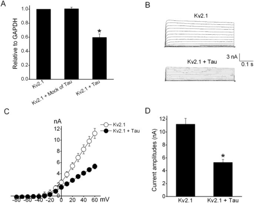 Effects of cotransfection with tau and Kv2.1 in HEK293 cells.(A) QPCR data showed that the induction of tau downregulated the mRNA level of Kv2.1. But no change was produced after the transfection of an empty vector (mock) of tau (n = 8). The * denoted p<0.05 compared with control Kv2.1 (B) The representative current traces of Kv2.1 before and after tau transfection. Currents were evoked by a 500 ms long voltage pulse to potentials from -80 mV to +60 mV at a holding potential of -80 mV. (C) Current–voltage (I-V) relations of Kv2.1 currents in the absence and presence of tau. (D) The statistic analysis of effects of tau transfection on macroscopic Kv2.1 currents in HEK293 cells (n = 8). The * denoted p<0.05 compared with Kv2.1 currents.