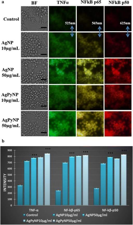 Fluorescent images and bar graphs of AgNP- and AgPyNP-treated RAW264.7 cells. (a) Photographs represent TNF-α, NF-κB p65, and NF-κB p50 activation after AgNp and AgPyNp treatment in RAW264.7 cells, and the scale bar represents 15 μm. Fluorescent images were taken at 525 nm (TNF-α), 565 nm (NF-κB p65), or 625 nm (NF-κB p50). (b) Bar graphs represent the mean ± SD intensity values of triplicate treatment groups to analyse the ROS generation in AgNP- and AgPyNP-treated RAW264.7 cells. Error bars represent the mean ± SD of three independent experiments. Student's t-test was used to determine the statistical significance: ***P < 0.001. Presented data were combined from at least three experiments. AgNPs, silver nanoparticles; AgPyNPs, nanosilver-pyridoxine complexes; BF, bright field.