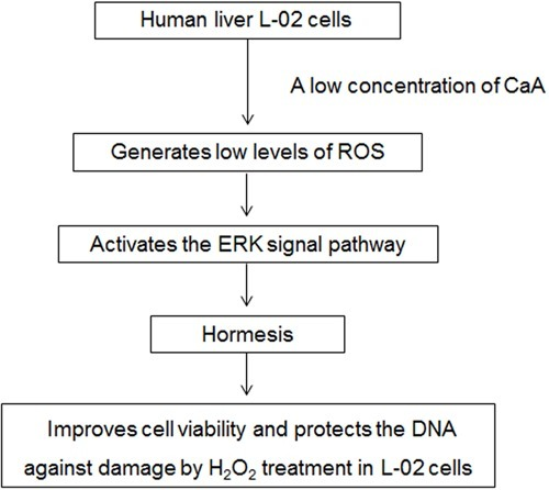 Caffeic acid (CaA)-induced improvement of cell viability and protectionagainst DNA damage: involvement of reactive oxygen species (ROS) and extracellularsignal-regulated kinase (ERK) signaling.