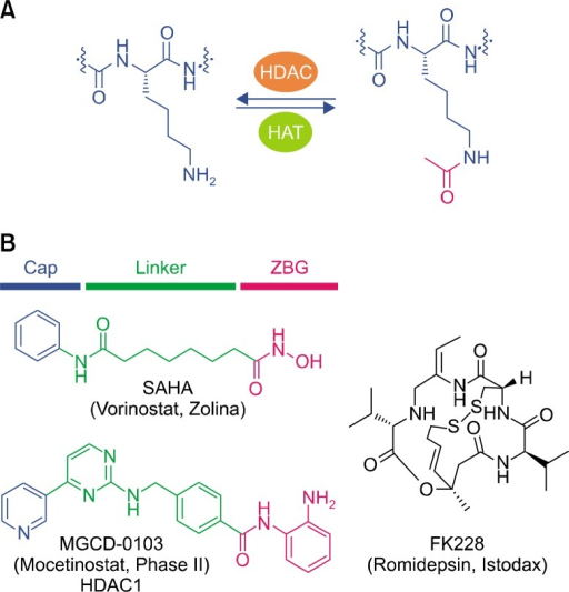 Post-translational modification of the lysine ε-amino group and histone deacetylase (HDAC) inhibitors. (A) Acetylation and de-acetylation of the lysine ε-amino group are mediated by histone acetyltransferases (HATs) and HDACs, respectively. (B) Pharmacophore model of HDAC inhibitors and their representative structures. SAHA, suberoylanilide hydroxamic acid; ZBG, zinc binding group.