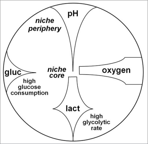"Oxidative metabolism survives within the ""acidic"" core of stem cell niches. Glucose (gluc) is exhausted in peripheral niche areas due to the high rate of glycolysis, resulting in the production of lactate (lact), which diffuses to, and lowers pH in, the niche core (where pH reaches the lowest levels). Oxygen is spared in the ""glycolytic"" periphery and let free to diffuse to the core, where it contributes to lactate metabolism and the relative production of energy. According to this hypothesis, niche periphery would home oxygen-independent CSC and niche core glucose-independent/lactate-dependent CSC."