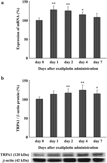 Oxaliplatin administration increases TRPA1 mRNA and protein in DRGs. a Effect of oxaliplatin (6 mg/kg, i.p.) on TRPA1 mRNA expression in rat DRGs (L4–6) at days 0 (before administration), 1, 2, 4, and 7 was measured. TRPA1 expression was normalized to β-actin expression. Histograms show the relative amount of TRPA1 mRNA in oxaliplatin-treated rats compared with day 0. Data are the mean ± SEM. n = 4 for oxaliplatin administration. *P < 0.05, **P < 0.01 versus day 0. b Effect of oxaliplatin (6 mg/kg, i.p.) on TRPA1 protein expression in rat DRGs (L4–6). TRPA1 and β-actin protein in DRGs at days 0 (before administration), 1, 2, 4, and 7 was measured. TRPA1 expression was normalized to β-actin expression. Histograms show the relative amount of TRPA1 protein in oxaliplatin-treated rats. The western blot shows representative data. Data are the mean ± SEM. n = 4 each for 5 % glucose and oxaliplatin administration. *P < 0.05, **P < 0.01 versus day 0