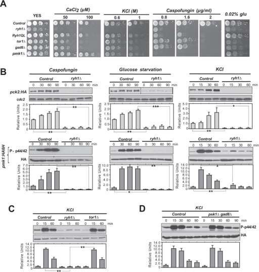 Rab-family GTPase Ryh1 regulates the cell integrity pathway in a TORC2-dependent and -independent fashion.(A) Serial dilutions of suspensions of strains MM913 (Pck2-HA; control), BV38 (ryh1Δ Pck2-HA), BV56 (Ryh1-QL Pck2-HA), MM1205 (tor1Δ Pck2-HA), BV11 (gad8Δ Pck2-HA), and MM1200 (pmk1Δ Pck2-HA), were spotted on YES plates supplemented with different concentrations of CaCl2, KCl, Caspofungin, or glucose, and incubated for 3 or 5 days at 28 °C. (B) Upper panels. Growing cultures of strains BV8 (Pck2-HA; control), and BV38 (ryh1Δ Pck2-HA) expressing genomic Pmk1-HA6H fusions were treated with 1 μg/ml Caspofungin (left panel), starved for glucose (middle panel), or treated with 0.6 M KCl (right panel). Cell extracts were resolved by SDS-PAGE and Pck2 levels detected after incubation with anti-HA antibodies. Anti-Cdc2 was used as a loading control. Lower panels. Purification and detection of activated/total Pmk1 was performed as described above. *P < 0.05; **P < 0.005; ***P < 0.001. (C) Growing cultures of strains BV8 (Pck2-HA; control), BV38 (ryh1Δ Pck2-HA) and MM1205 (tor1Δ Pck2-HA) expressing genomic Pmk1-HA6H fusions were treated with 0.6 M KCl for the indicated times. Activated/total Pmk1 were detected with anti-phospho-p44/42 and anti-HA antibodies, respectively. **P < 0.005 (D) Growing cultures of strains BV8 (Pck2-HA; control) and BV14 (psk1Δ gad8Δ Pck2-HA) expressing genomic Pmk1-HA6H fusions were treated with 0.6 M KCl. Purification and detection of activated/total Pmk1 was performed as described above.