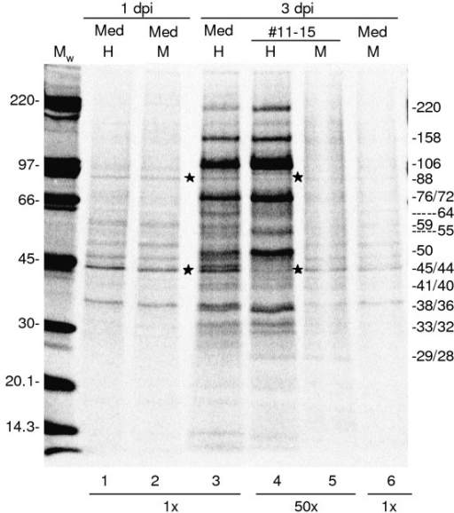 Metabolic labelling of proteins in HHV-6A. HHV-6A- or mock-infected cells were metabolically labelled with [35S]methionine between 24.5 and 28.5 hpi or 72.5 and 76.5 hpi and virions were collected without further labelling from 28.5 to 32.5 hpi or 76.5 to 80.5 hpi. HHV-6A virions and corresponding mock sample were purified, equalized based on the number of living cells in the two cultures at the end of collection period and analyzed by 6–15% SDS-PAGE. The 1 and 3 dpi media represented 2% of the total sample volume and fractions 11–15 corresponded to 98%. Estimated molecular weights in kD of the detected proteins are indicated. H, M and Mw abbreviations as in Fig. 3. Asterisks indicate cellular proteins 88 kD and 44 kD.