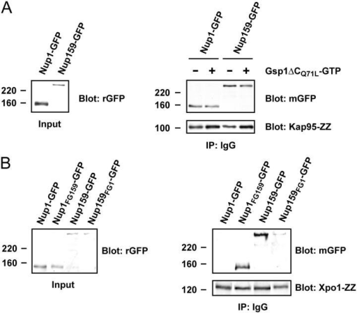 In vivo association of Kap95 and Xpo1 with the mutant FG alleles. (A) Whole cell extracts of strains expressing Kap95-ZZ were preincubated with 10 μM Gsp1ΔCQ71L-GTP or a mock treatment, immunoprecipitated, and detected by Western blot. (Left) 4 μg of input from each Kap95-ZZ strain was loaded and blotted with a highly sensitive rabbit anti-GFP antibody (rGFP; Seedorf et al., 1999). (Right) One fifth of the total bead volume was loaded from each pull down (± Gsp1ΔCQ71L-GTP) and blotted with highly specific mouse anti-GFP (mGFP; top) or anti-Kap95 antibodies (bottom). (B) Whole cell extracts of strains expressing Xpo1-ZZ were processed and detected as above for the Kap95-ZZ extracts. 10 μM Gsp1ΔCQ71L-GTP was included in all pull-down reactions. (Left) 4 μg of input from each Xpo1-ZZ strain was loaded, blotted, and detected with rGFP. (Right) One fifth of the total bead volume was loaded from each pull down and blotted with mGFP (top) or anti-Xpo1 antibodies (bottom). Note that all lanes are derived from the same blot and exposure, but have been repositioned for clarity.