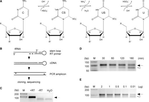 Establishment Of Rna Bisulfite Sequencing   A  Schemati