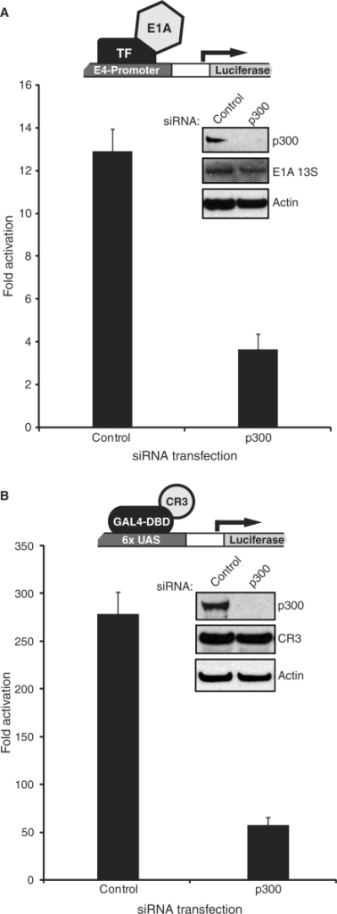 Knockdown of p300 by siRNA impairs activation by E1A 13S and CR3. (A) HeLa cells were transfected with siRNA for p300 or a negative control siRNA and subsequently with 1 μg of plasmid expressing E1A 13S and 1 μg of E4-luciferase reporter. Luciferase activity was assayed 5 days after the initial siRNA transfection. (B) U2OS cells were transfected with siRNA for p300 or a negative control siRNA and subsequently with 1 μg of plasmid expressing the GAL4-CR3 fusion and 1 μg of GAL4-luciferase reporter. Luciferase activity was assayed 5 days after the initial siRNA transfection.
