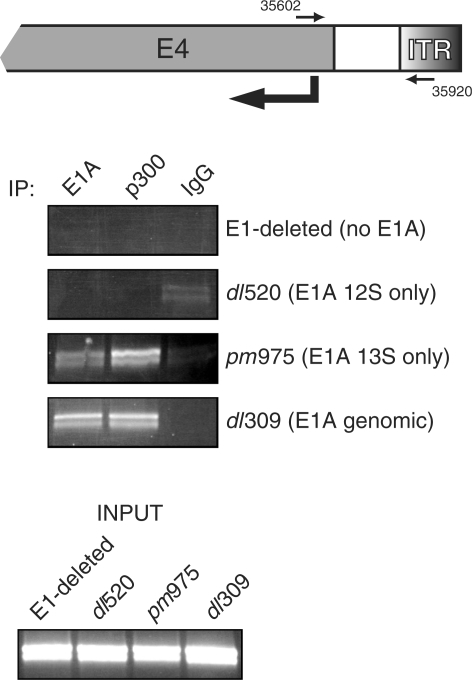 p300 is recruited to the adenovirus E4 promoter only in the presence of E1A 13S. Top panel. A schematic representation of the right end of the adenoviral genome with the locations of primer hybridization indicated, numbering refers to the adenovirus type 2 genome. Bottom panel. HeLa cells were infected with the indicated adenoviruses and chromatin immunoprecipitation was carried out 16 h after infection with M73 anti-E1A antibody, RW128 anti-p300 antibody and mouse anti-rabbit antibody as a negative control. Immunoprecipitated DNA was then subjected to PCR analysis using E4-specific primers and the product was resolved on a 2% agarose gel.