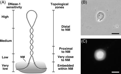Properties of naked DNA loops attached to the NM. (A) Drawing illustrating the local topology along a typical supercoiled DNA loop that correlates with both distance relative to the NM and sensitivity to DNase I. (B) Phase contrast micrograph showing the NM of a hepatocyte nucleoid. (C) Fluorescence micrograph showing the DNA halo around the NM of a hepatocyte nucleoid caused by the unwinding of the supercoiled DNA loops by treatment of the nucleoid with the DNA-intercalating agent ethidium bromide (80 µg/ml). Scale bars 10 µm.