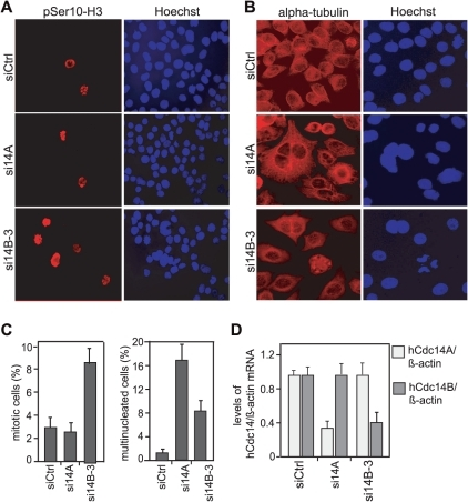 Silencing of hCdc14B leads to enrichment of mitotic cells.HeLa Kyoto cells were reverse transfected twice with a control-siRNA pool (siCtrl) or siRNAs that target hCdc14A (si14A) [24, Reference S1] or hCdc14B (si14B-3). During the second transfection equal numbers of cells were seeded onto coverslips, and 24 h after the second transfection cells were subjected to immunofluorescence microscopy and analysis of hCdc14 expression. A, B. Representative immunofluorescence images of HeLa Kyoto cells transfected with siCtrl, si14A, or si14B-3. Mitotic cells were visualized by immunostaining with histone H3-phospho-Serine-10 (pSer10-H3) antibodies (red) (A), multinucleated cells by staining with anti-alpha-tubulin antibodies (red) (B). DNA was counterstained with Hoechst 33342. C. Frequencies of mitotic and multinucleated cells. The data shown here represent means (±SD) of three independent experiments derived from counting 400 cells each. D. hCdc14A and hCdc14B expression is reduced by the corresponding siRNAs. The graphs represent the mean levels (±SD) of hCdc14A-mRNA (light bar) and hCdc14B-mRNA (dark bar) normalized to β-actin-mRNA as determined by RT-qPCR in three independent experiments.