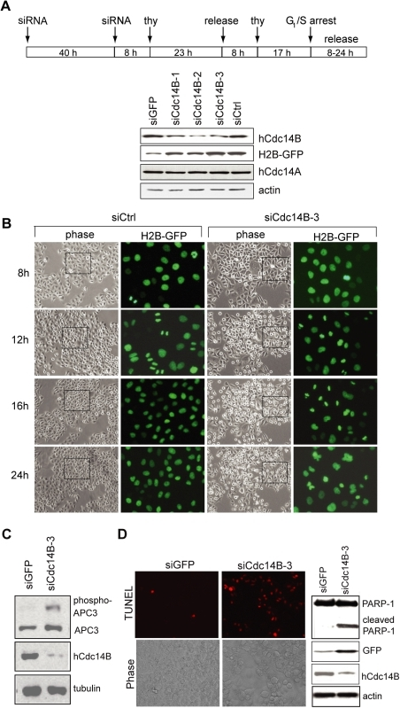 Depletion of hCdc14B impairs progression through mitosis and triggers apoptosis.A. Cell synchronization and specificity of hCdc14B knockdown by siRNAs. HeLa Kyoto cells were reverse transfected with a control siRNA pool (siCtrl), siRNAs that target GFP-mRNA (siGFP), or three different regions of hCdc14B-mRNA (siCdc14B-1, -2, -3; see Table S1 for sequence information) and synchronized as shown in the scheme. 8 h after release from the second G1/S arrest, cells were lysed and the amount of hCdc14B, hCdc14A, H2B-GFP, and actin was analyzed on immunoblots. B. Phase contrast and H2B-GFP fluorescence images of HeLa Kyoto cells that were transfected with control-siRNA (siCtrl) or hCdc14B-siRNA (siCdc14B-3) and released from G1/S according to the scheme above. Before the second G1/S arrest, equal numbers of cells were seeded onto coverslips. The GFP images represent magnifications of regions marked by rectangles in the phase contrast images. C. Western blot analysis of Cdc27/APC3, hCdc14B, and β-tubulin in lysates from cells treated with GFP-specific (siGFP) or hCdc14B-specific (siCdc14B-3) siRNAs. The hyperphosphorylated form of Cdc27/APC3 is indicated. D. hCdc14B depletion induces apoptosis. siRNA transfections and cell synchronization was done as described above. Before the second thymidine block, equal numbers of cells were seeded on coverslips and apoptosis was monitored 24 h after release from the second G1/S-arrest in control (siGFP) or hCdc14B-depleted (siCdc14B-3) HeLa Kyoto cells by TUNEL staining (left) and on immunoblots monitoring caspase-induced proteolysis of PARP-1 (right).