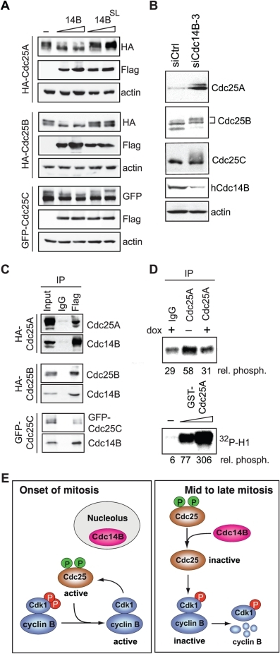 hCdc14B dephosphorylates Cdc25.A. hCdc14B dephosphorylates Cdc25 in vivo. Immunoblots of nocodazole-arrested HEK293T cells co-expressing fl-hCdc14B or fl-hCdc14BSL and HA-Cdc25A, HA-Cdc25B or GFP-Cdc25C. The upper bands correspond to hyperphosphorylated Cdc25 proteins. B. Cdc25 phosphatases are hyperphosphorylated in cells depleted of hCdc14B. HeLa Kyoto cells transfected with control (siCtrl) or hCdc14B-specific siRNA-3 (siCdc14B-3) were released from G1/S for 18 h, and analyzed on Western blots. C. hCdc14B interacts with Cdc25 isoforms in vivo. Immunoblots showing co-precipitation of Cdc25 isoforms with fl-hCdc14BSL from 293T cells co-expressing HA-Cdc25A, HA-Cdc25B, GFP-Cdc25C, and fl-hCdc14BSL. D. Overexpression of hCdc14B leads to inactivation of Cdc25A. Cdc25A was immunoprecipitated from doxycyclin-treated (dox) or untreated U2OS-fl-hCdc14B cells, incubated with Cdk1/cyclin B from S-phase cells, and kinase activity of Cdk1/cyclin B was monitored by in vitro phosphorylation of histone H1 (top). As a control, activation of Cdk1/cyclin B was monitored using recombinant GST-Cdc25A (bottom). Quantification of histone H1 phosphorylation was performed with a PhosphorImager and is shown below. E. Model depicting the role of hCdc14B during mitosis. Entry into mitosis requires a positive feedback loop, involving Cdk1-dependent activation of Cdc25 phosphatases and Cdc25-dependent dephosphorylation of Cdk1 on pT14/Y15. Before onset of mitosis, hCdc14B is sequestered within the nucleolus, preventing premature dephosphorylation and inactivation of Cdc25 proteins. From prometaphase until late mitosis, hCdc14B is released from nucleolar chromatin, leading to inactivation of Cdc25s, which triggers inhibitory phosphorylation of Cdk1 and inactivation of Cdk1/cyclin B.