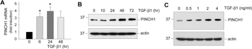 TGF-β1 induces PINCH1 mRNA and protein expression in human podocytes.A, Quantitative real-time RT-PCR reveals that TGF-β1 induced PINCH1 mRNA expression in a time-dependent manner. PINCH1 mRNA levels were assessed by quantitative real-time RT-PCR in human podocytes after TGF-β1 treatment (2 ng/ml) for various periods of time as indicated. Relative PINCH1 mRNA levels (fold induction over the controls) were reported after normalization with β-actin, and presented as mean ± SEM of three experiments. *P<0.05 versus controls. B and C, Western blot analyses demonstrate that TGF-β1 induced PINCH1 protein expression in a time- and dosage-dependent manner. Human podocytes were treated with a fixed amount of TGF-β1 (2 ng/ml) for various periods of time as indicated (B) or with various concentrations of TGF-β1 for 48 h (C). Total cell lysates were immunoblotted with specific antibodies against PINCH1 and actin, respectively.