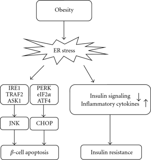 Roles of ER stress in the pathogenesis of β-cell apoptosis and insulin resistance.