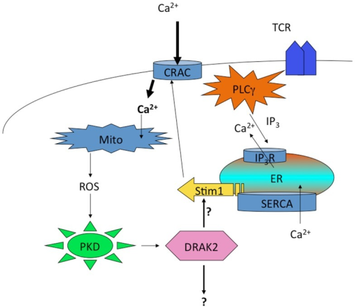 Regulation of DRAK2 activity in T cells via Ca2+-induced respiratory burst. TCR induced Ca2+ depletion from ER stores results in opening of CRAC channels. This high cytosolic [Ca2+] promotes the induction of TCA cycle and OXPHOS in mitochondria, the latter of which release ROS as an OXPHOS byproduct. In addition to inhibiting phosphatases, ROS activate PKD, which itself binds to and activates DRAK2 (likely through transphosphorylation on DRAK2). DRAK2 then impacts Ca2+ signaling by altering SERCA activity (hypothetical), or other unknown substrates.