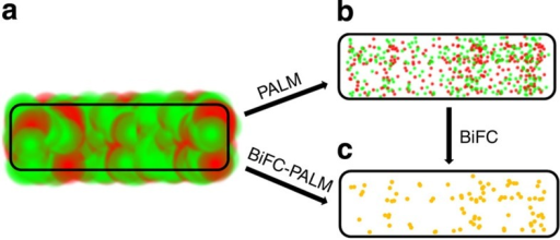Comparison between two-colour STORM/PALM and BiFC-PALM.(a) Optical diffraction and fluorescent background from non-interacting proteins make it difficult to image specific protein–protein interactions. The red and green spots are the point spread functions of individual protein A and protein B molecules, respectively. The spatial resolution is about 200 nm. (b) Two-colour STORM/PALM co-localization imaging shows uncertainty on overlapping non-interacting molecules. The red and green spots are the single-molecule localizations of individual protein A and protein B molecules, respectively. The spatial resolution is about 20 nm. The high density of both proteins results in large uncertainty for identification of interacting protein pairs by co-localization. (c) BiFC-PALM can locate specific interacting pairs with high spatial resolution, given almost zero background from non-interacting molecules. The yellow spots are the single-molecule localizations of interacting pairs of protein A and protein B molecules. The spatial resolution is about 20 nm.
