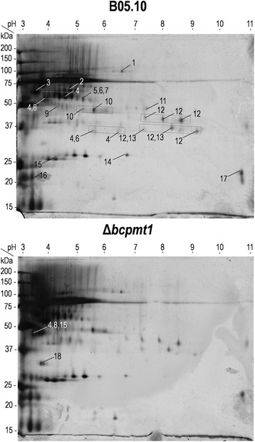 2D Electrophoresis of the glyco-secretome. 10 μg of purified protein sample were fractionated by 2D electrophoresis and stained with silver. Numbers indicate proteins identified in each spot by MALDI-TOF/TOF (Additional file 1). Boxes identify charge trains for which the same protein was identified in several spots.