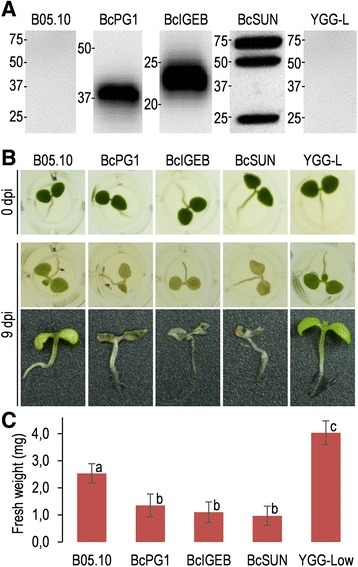 Growth inhibition and necrosis of seedlings caused byO-glycosylated proteins. Tobacco seedlings were treated for 9 days with culture media from the strains overexpressing the indicated O-glycosylated proteins and then assessed for necrosis and growth inhibition. A: Western-blot (anti-c-myc) showing the relative amounts of recombinant proteins in the culture media from the overexpressing strains. Medium from the wild-type strain (B05.10) and uninoculated medium (YGG-low) were used as controls. Each lane contained proteins precipitated from 1 ml of medium. Molecular weight makers are show to the left of each lane (kDa). B: Example seedlings treated with the culture media. C: Average weight (n=6) of treated seedling after the 9-day incubation. Different letters on bars indicate statistically significant differences with 0.99 confidence.