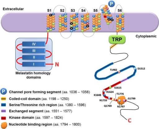A schematic diagram to illustrate the protein structure of TRPM7 channel-kinase.