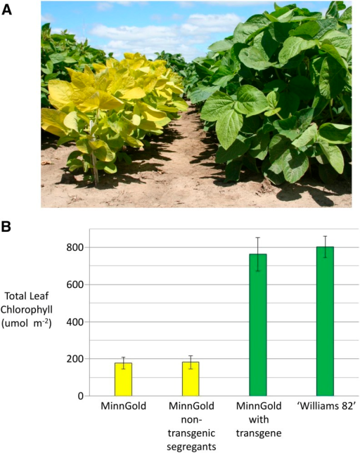 Phenotypic evaluation of chlorophyll deficiency in the MinnGold mutant. (A) Visual comparison of the MinnGold mutant (left) vs. the wild-type cultivar 'Williams 82' (right). (B) Total leaf tissue chlorophyll levels in the MinnGold, MinnGold non-transgenic segregants, Transgenic MinnGold T1, and 'Williams 82'.
