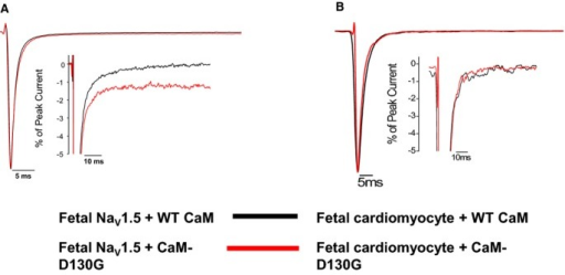 Long QT syndrome (LQTS) CaM mutation effects on persistent Na current are limited to a single splice variant of NaV1.5 and a single CaM mutation. A, CaM‐D130G evoked increased persistent sodium current with fetal NaV1.5. Averaged tetrodotoxin‐sensitive currents were normalized to the peak current measured at −30 mV during a 200‐ms depolarization recorded under high intracellular Ca2+ concentration (see Methods). The inset represents the same data plotted on an expanded vertical scale. Summary data are provided in Table 1. B, CaM‐D130G has no significant effect on persistent Na current in fetal ventricular cardiomyocytes. Tetrodotoxin‐sensitive currents were normalized to the peak current measured at −30 mV during a 300‐ms depolarization recorded under high intracellular Ca2+ concentration (see Methods). The inset represents the same data plotted on an expanded vertical scale. CaM indicates calmodulin; WT, wild type.