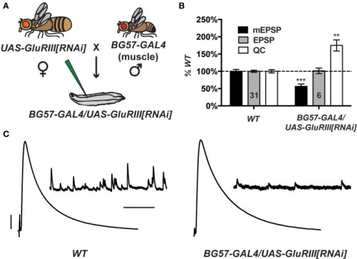 Postsynaptic GluRIII gene knock down induces robust homeostatic compensation. (A) Crossing scheme. NMJs from F1 larvae (genotype BG57-GAL4/UAS-GluRIII[RNAi]) are subjected to electrophysiological analyses. (B) Quantal size (miniature excitatory postsynaptic potentials, mEPSP) is decreased for BG57-GAL4/UAS-GluRIII[RNAi] larvae (***p < 0.001, Student's T-Test). Evoked potentials (excitatory postsynaptic potentials, EPSP) are normal because of a homeostatic increase in quantal content (QC) (**p < 0.01). (C) Representative electrophysiological traces. Scale bars for EPSPs (mEPSPs): 5 mV (1 mV); 50 ms (1000 ms).
