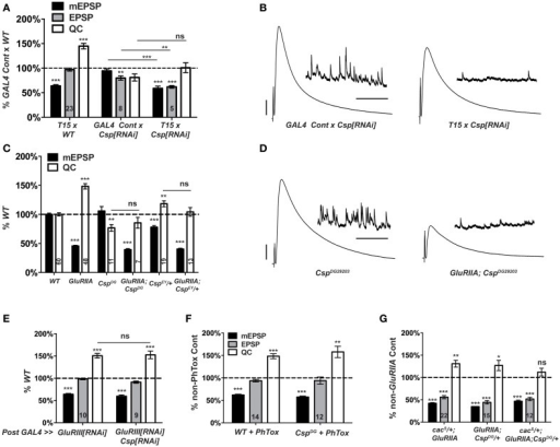 Csp is required for long-term homeostatic compensation. (A)T15 × UAS-Csp[RNAi] shows a failure to upregulate quantal content compared to its GAL4-driven UAS-Csp[RNAi] control (ns, p = 0.15). Knock down of Csp shows a slight impairment in evoked neurotransmission (EPSP) compared to control (**p < 0.01). (B) Representative electrophysiological traces show the failure of T15 × UAS-Csp[RNAi] larvae to maintain evoked potentials at control levels. (C) Homozygosity for the CspDG29203 allele or heterozygosity for the CspEY22488 allele block homeostatic upregulation of quantal content compared to their respective non-GluRIIASP16genetic controls (ns, p = 0.44 and p = 0.14, respectively). (D) Representative traces show a failure of homeostatic compensation for GluRIIASP16, CspDG29203. (E) Postsynaptic knock down of Csp function leaves homeostatic plasticity intact. (F) Acute homeostatic compensation is intact in CspDG29203 as evidenced by the elevated quantal content in response to philanthotoxin-433 (PhTox) application (**p < 0.01). (G) A doubly heterozygous combination of CspDG29203/+ and cacS/+ shows a homeostatic block in the GluRIIASP16 background because of a failure to increase quantal content over cacS/+; CspDG29203/+ controls (ns, p = 0.24). By contrast, the single heterozygous mutations retain partial homeostatic compensatory capacity. Scale bars for EPSPs (mEPSPs): 5 mV (1 mV); 50 ms (2000 ms). (ns, p > 0.05; *p < 0.05; **p < 0.01; ***p < 0.001).