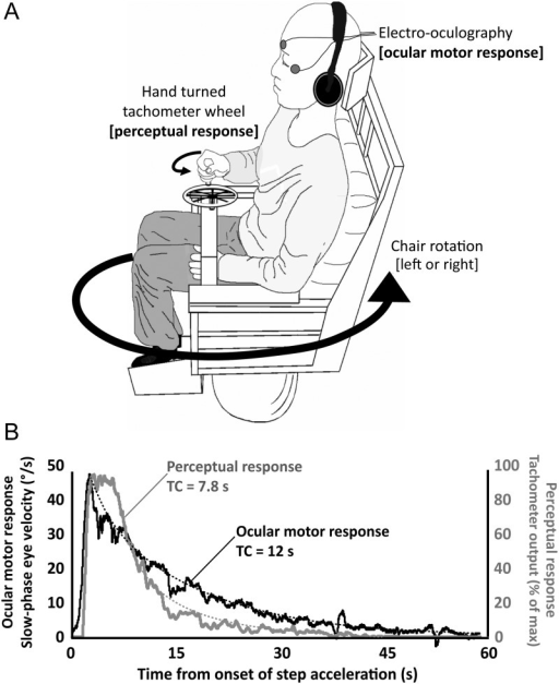 Experimental apparatus and raw records of vestibular-ocular motor and perceptual responses. (A) Subject sat on a motorized rotating chair in the dark. 90°/s velocity step rotations were administered (leftwards or rightwards). The subject's task was to rotate the tachometer wheel to match their sensation of rotation. Rotating the tachometer generates a voltage that indicates the subject's vestibular perception of self-motion. The voltage is digitally sampled and recorded at 250 Hz. VOR measures were obtained by measuring eye movements with standard EOG digitized at 250 Hz. (B) Example from a single subject of the raw signal from the tachometer wheel reflecting the perceptual response. The EOG signal has been calibrated, de-saccaded, and differentiated to provide a slow-phase eye velocity curve that reflects the ocular motor response. The dotted lines show the exponential decay curves from which perceptual and ocular motor TCs are calculated (the TC of any exponential decay can be estimated as the time taken, shown on the x-axis, for the response amplitude, and shown on the y-axis, to decrease by 63.2% of the initial value).