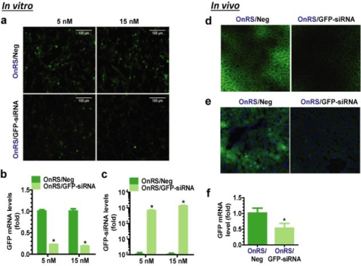 OnRS-carried siRNA is effective for RNAi in vitro and in vivo. GFP fluorescence intensity was sharply reduced in ES-2/GFP cells in vitro at 72 h after transfected with OnRS/GFP-siRNA (a), which was associated with (b) 70–80% lower GFP mRNA levels and (c) 1000-fold higher GFP siRNA levels. Following i.v. administration of OnRS/GFP-siRNA, hepatic GFP fluorescence was significantly suppressed in the GFP-transgenic mouse models in vivo, as demonstrated by microscopic examination of (d) non-fixed and (e) fixed liver slices, as well as (f) RT-qPCR analysis of hepatic GFP mRNA levels. Fixed liver slices were stained with DAPI, and GFP fluorescence and DAPI-stained nuclei (blue) images were merged together (e). Control ES-2/GFP cells (N = 3 per group) or GFP-transgenic mice (N = 3–4 per group) were treated with the same doses of OnRS/Neg. Values are mean ± SD. *P < 0.01, compared with OnRS/Neg treatment.
