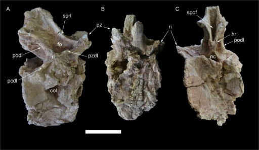 Caudal vertebra 7 of Tataouinea hannibalis.Vertebra in right lateral (A), proximal (B) and distal (C) views. Scale bar: 10 cm. Abbreviations: col, collapsed area; fo, fossa; hr, hyposphenal ridge; nc, neural canal; pcdl, posterior centrodiapophyseal lamina; podl, postzygodiapophyseal lamina; pz, prezygapophysis; pzdl, prezygodiapophyseal lamina; ri, rib; spof, spinopostzygapophyseal fossa; sprl, spinoprezygapophyseal lamina.